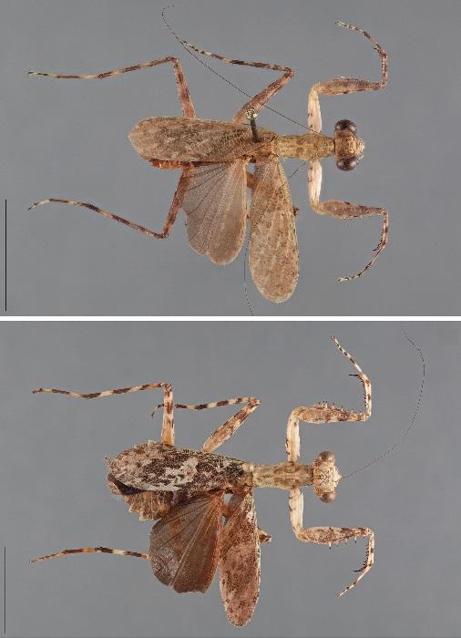 Liturgusa lichenalis