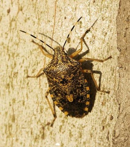 Pentatomidae spec