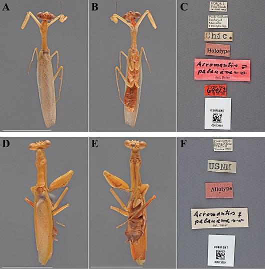 Acromantis palauana