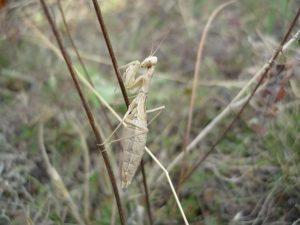 Крымский богомол (Ameles taurica)