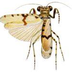 Amorphoscelis pulchella