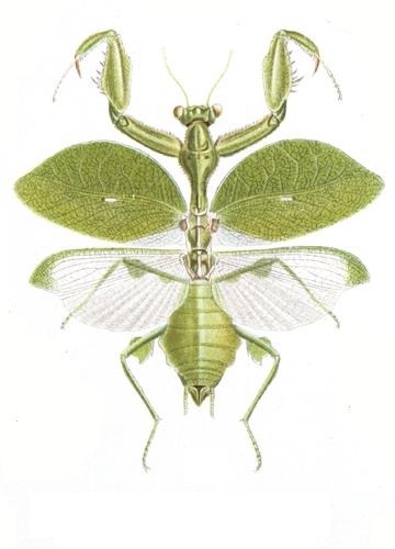 Взрослая самка Antemna rapax