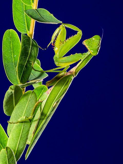 Зеленый богомол
