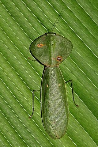 Choeradodis rhombicollis