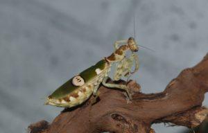 Цветочный богомол (Creobroter gemmatus)