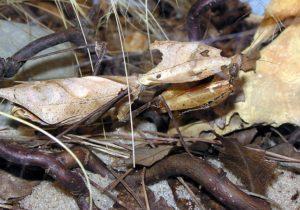 Deroplatys desiccata (малазийский листовидный богомол)