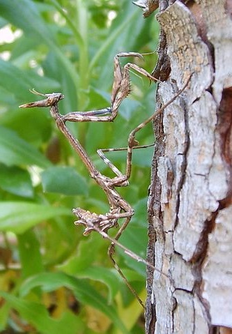 Empusa pennata личинка
