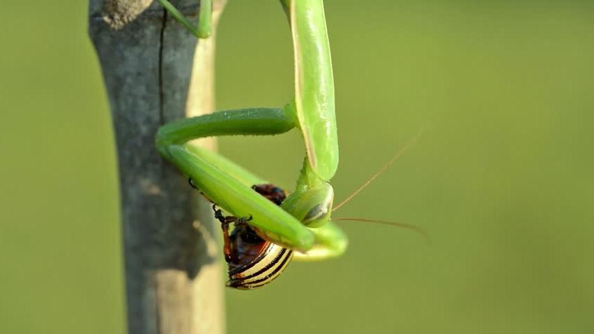 Богомол ест колорадского жука