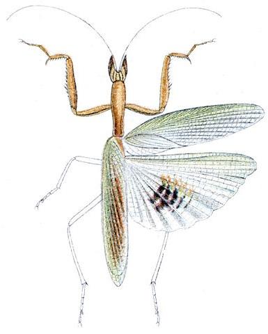 Episcopomantis chalybea