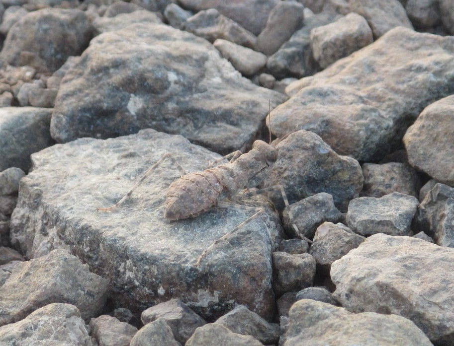 Eremiaphila braueri