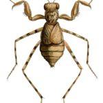 Eremiaphila cerisyi