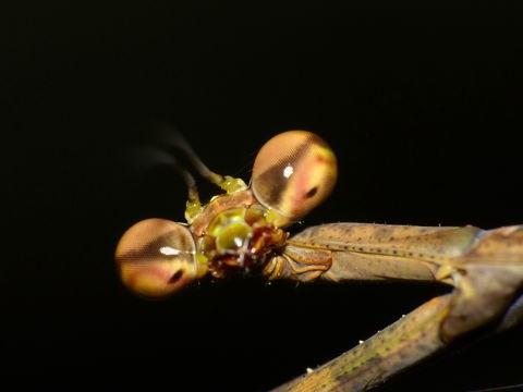 Самка Euchomenella heteroptera