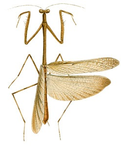 Euchomenella moluccarum