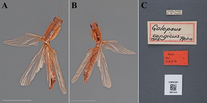 Galepsus congicus