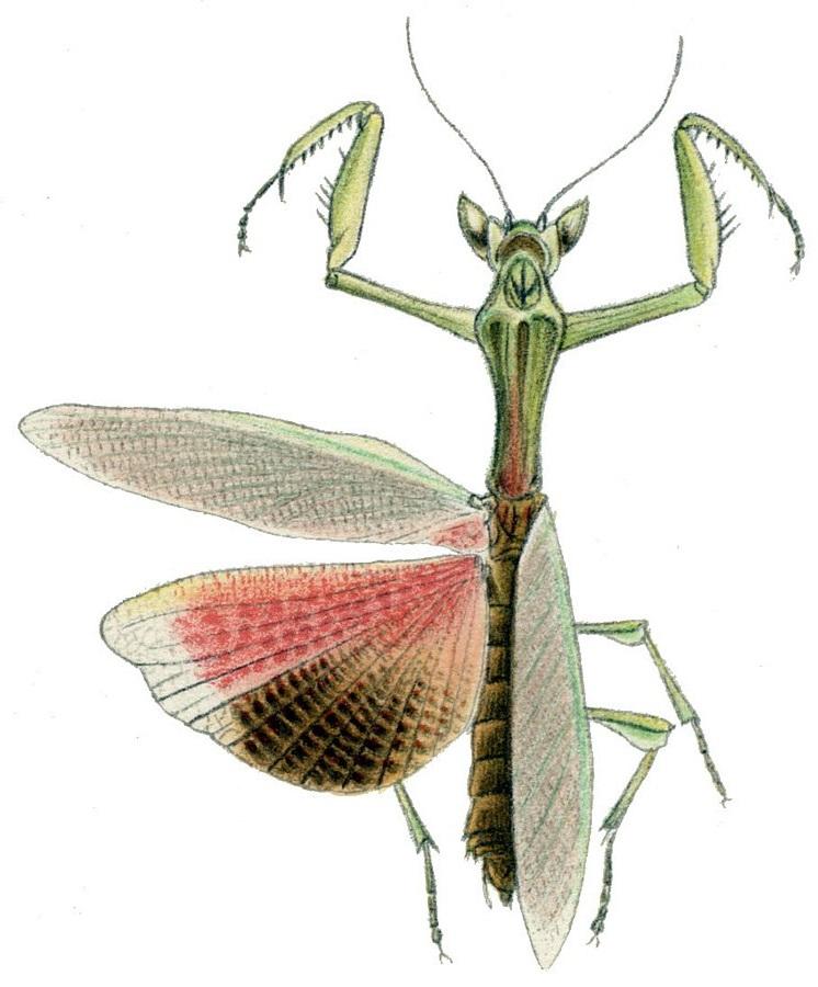 Galinthias amoena