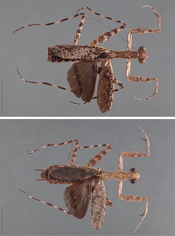 Hagiomantis mesopoda
