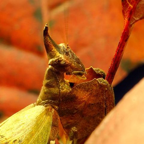 Hestiasula brunneriana