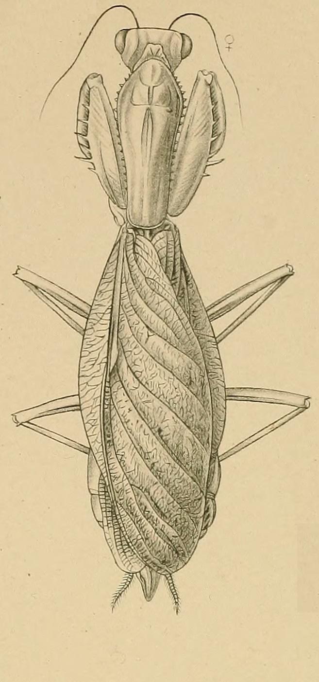 Hierodula latipennis