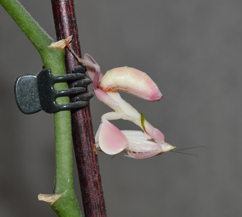Орхидейный богомол, пример агрессивной мимикрии