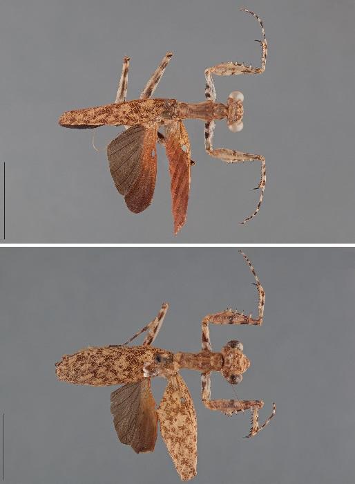 Liturgusa guyanensis