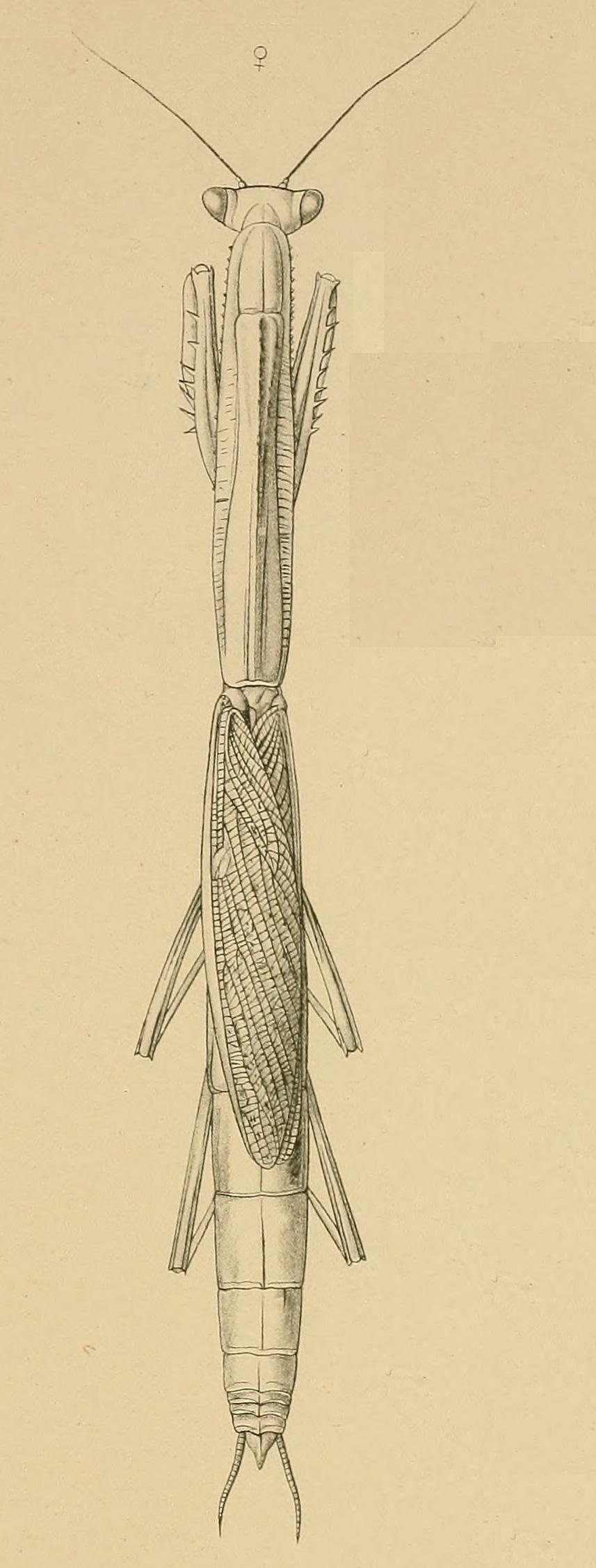 Mesopteryx platycephala