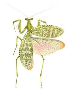 Neomantis australis