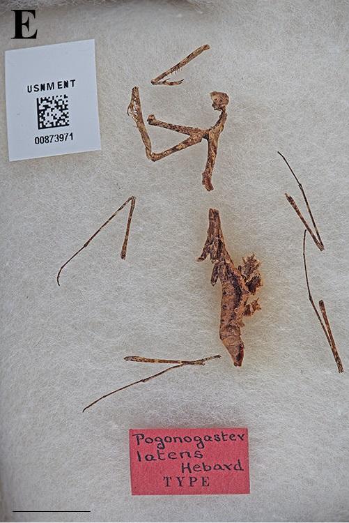 Pogonogaster latens