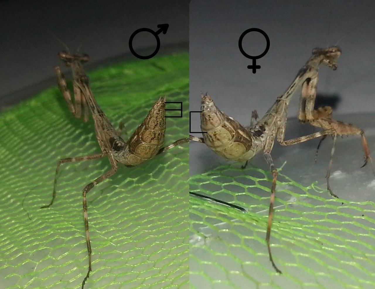 отличить самку богомола от самца