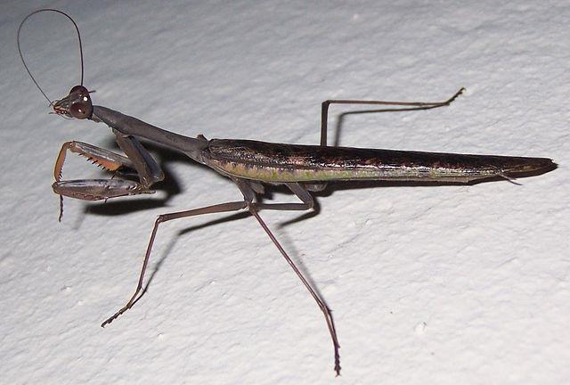 Polyspilota aeruginosa
