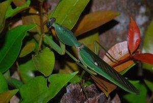 Щитовидный древесный богомол (Rhombodera basalis)