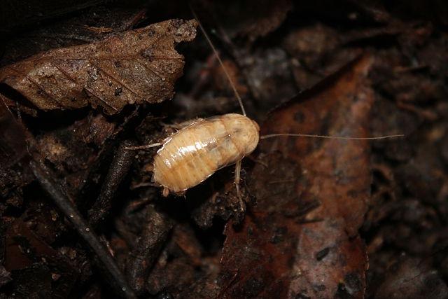 Нимфа туркменского таракана
