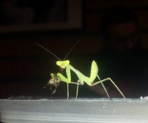 Сфодромантис ест муху