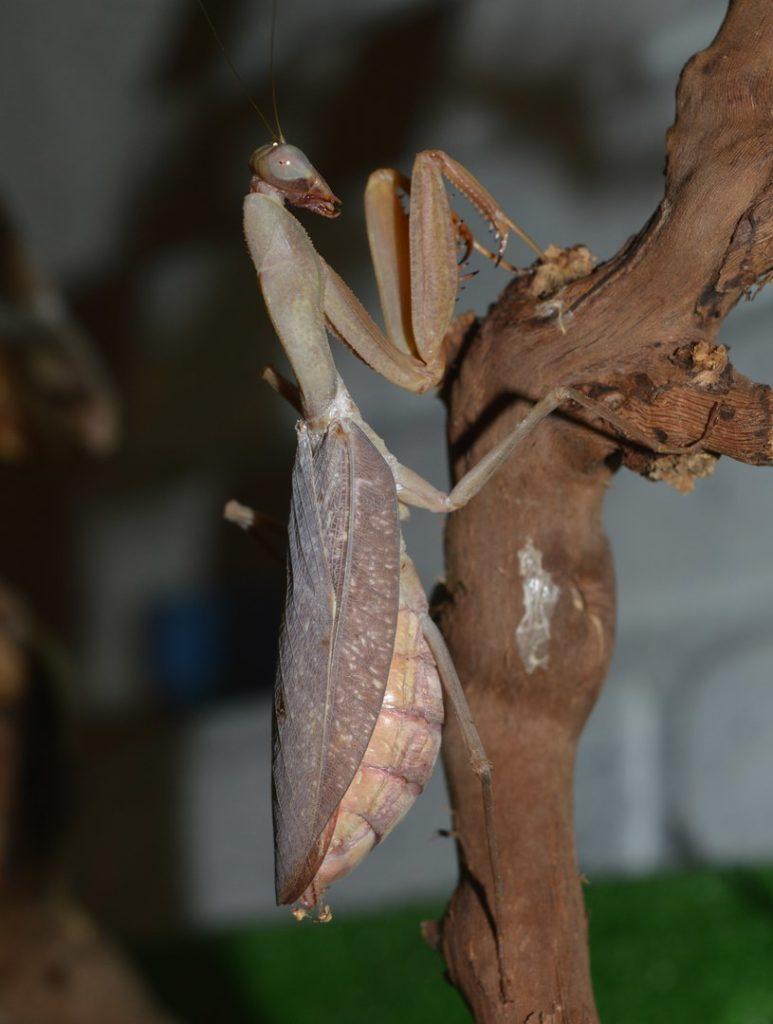 Африканский древесный богомол
