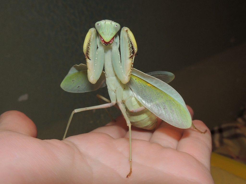 Sphodromantis sp. Tanzania