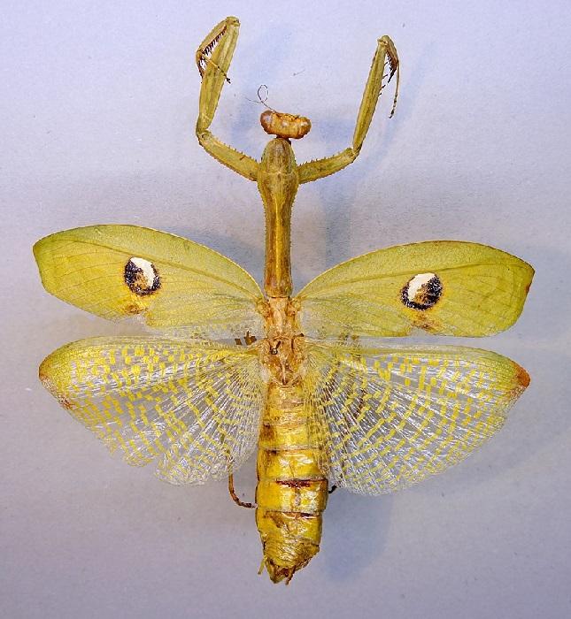 Stagmatoptera hyaloptera