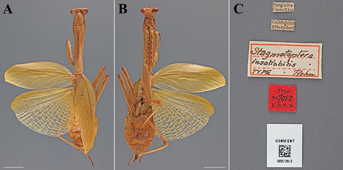 Stagmatoptera insatiabilis