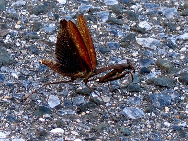 Statilia maculata