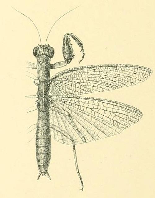 Tarachodes lucubrans