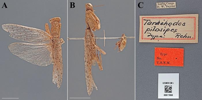 Tarachodes pilosipes