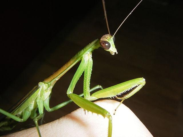 Tenodera angustipennis самец