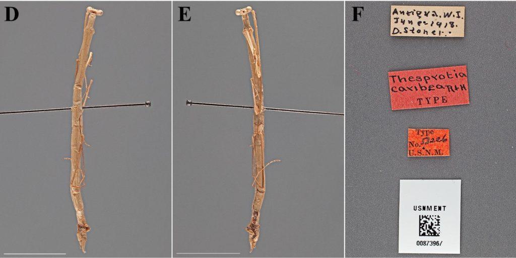 Thesprotia caribea
