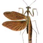 Thrinaconyx fumosus
