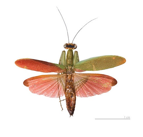 Tithrone roseipennis самец