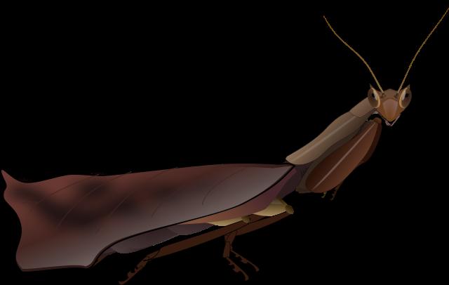Acanthops falcata самец