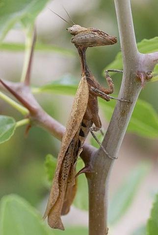 Самец Acanthops