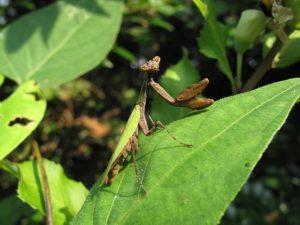 Acromantis japonica