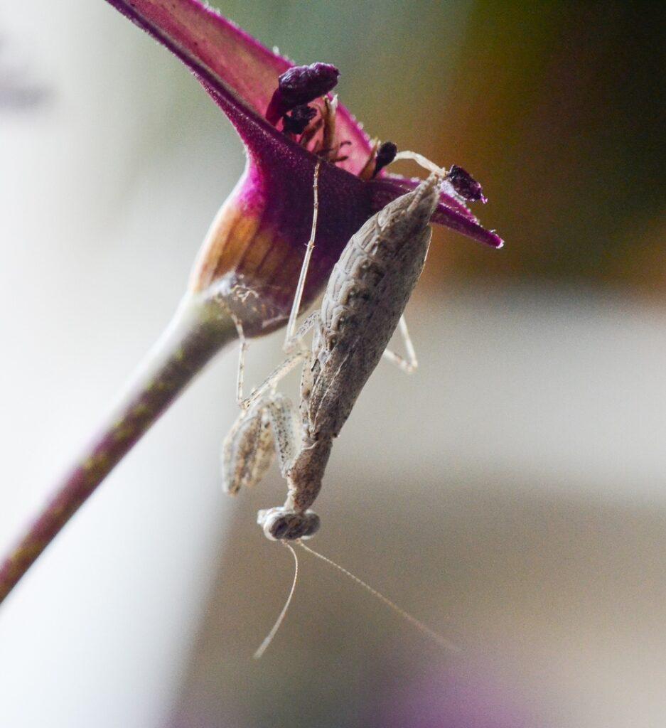 Богомол-крошка (Armene pusilla)