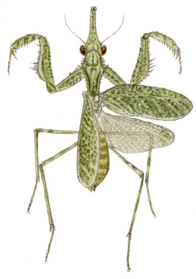 Blepharodes cornutus