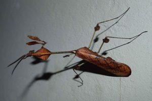 Богомол-скрипка (Gongylus gongylodes)