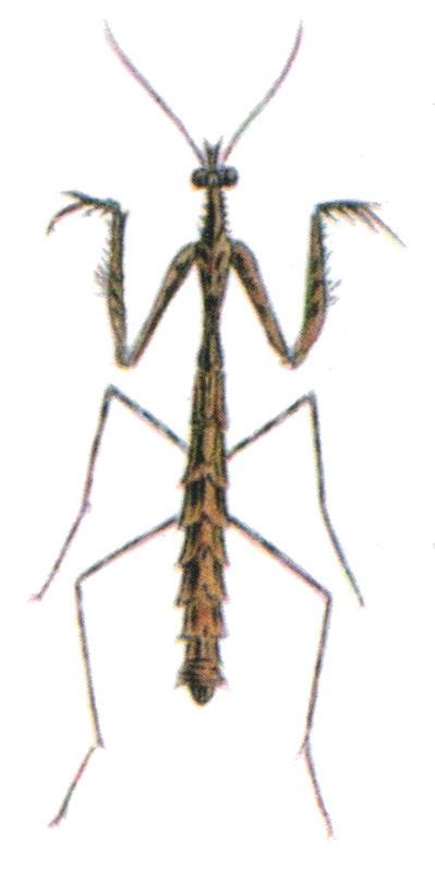 Carrikerella ceratophora